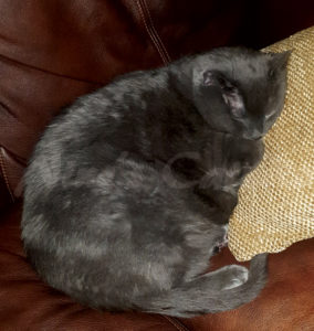 beautiful obese grey cat sleeping on the couch